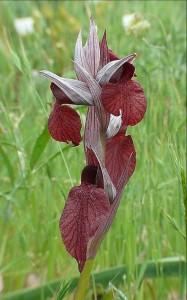 Orchidee sul Gargano