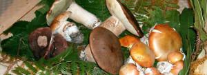 funghi del gargano